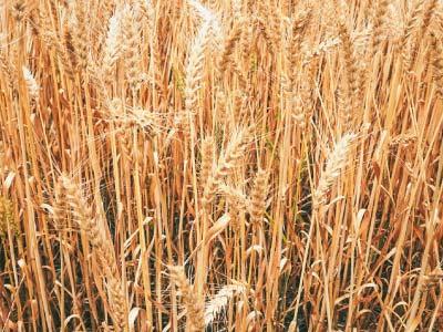 小麦イメージ